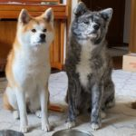 15日はお薬の日【Akita-inu】15th is medicine day
