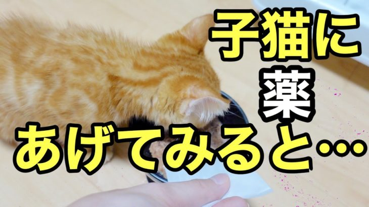 子猫に初めて薬をあげてみたら…【ASMR】When I gave my kitten medicine for the first time… [ASMR]